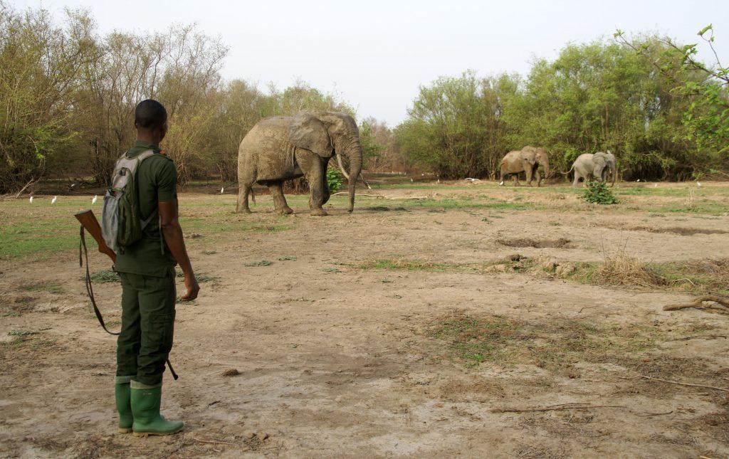 Elefantes en el Mole National Park, Ghana